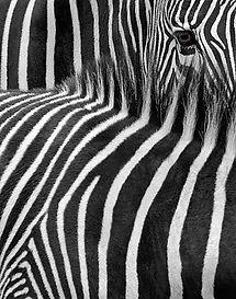 A_wix_zebras.jpg