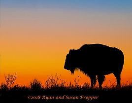 A_wix_Bison at Sunset 2.jpg