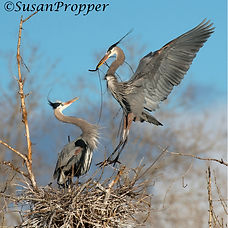 A_wix_Great Blue Herons_2674.jpg