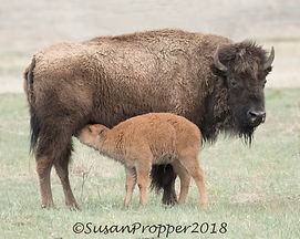 A_wix_Bison_Mother and Baby_8807.jpg