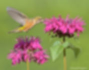 WX_Female Broad-tailed Hummingbird with