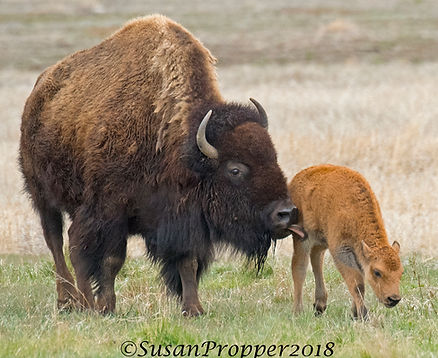 A_Bison with Calf B_8764.jpg