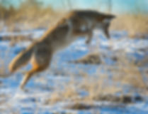 A_wix_Coyote Pounce_3723.jpg
