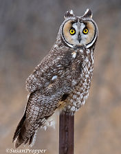 A_Long-eared owl_6838.jpg