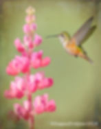 Z_WX_Female Broad-tailed Hummingbird wit