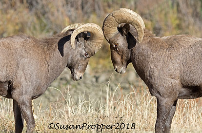 A_wix_Big Horn Sheep_9410.jpg