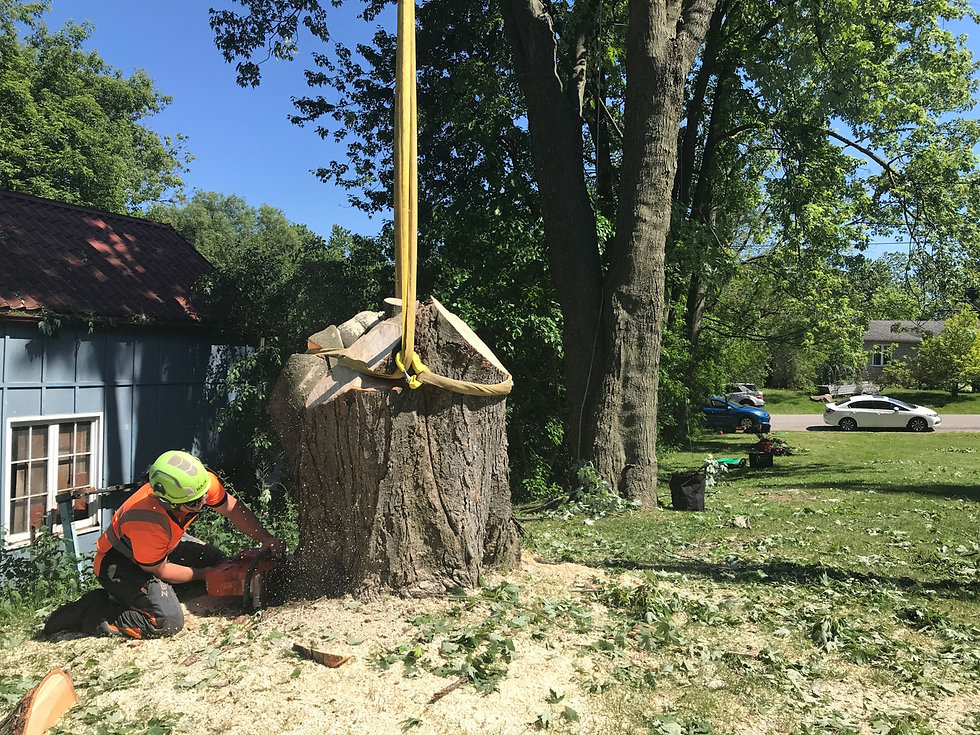 Large tree removal in Pickering