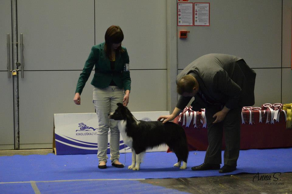 10. Special Show British Sheepdog