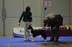 10. Special Show British Sheepdog