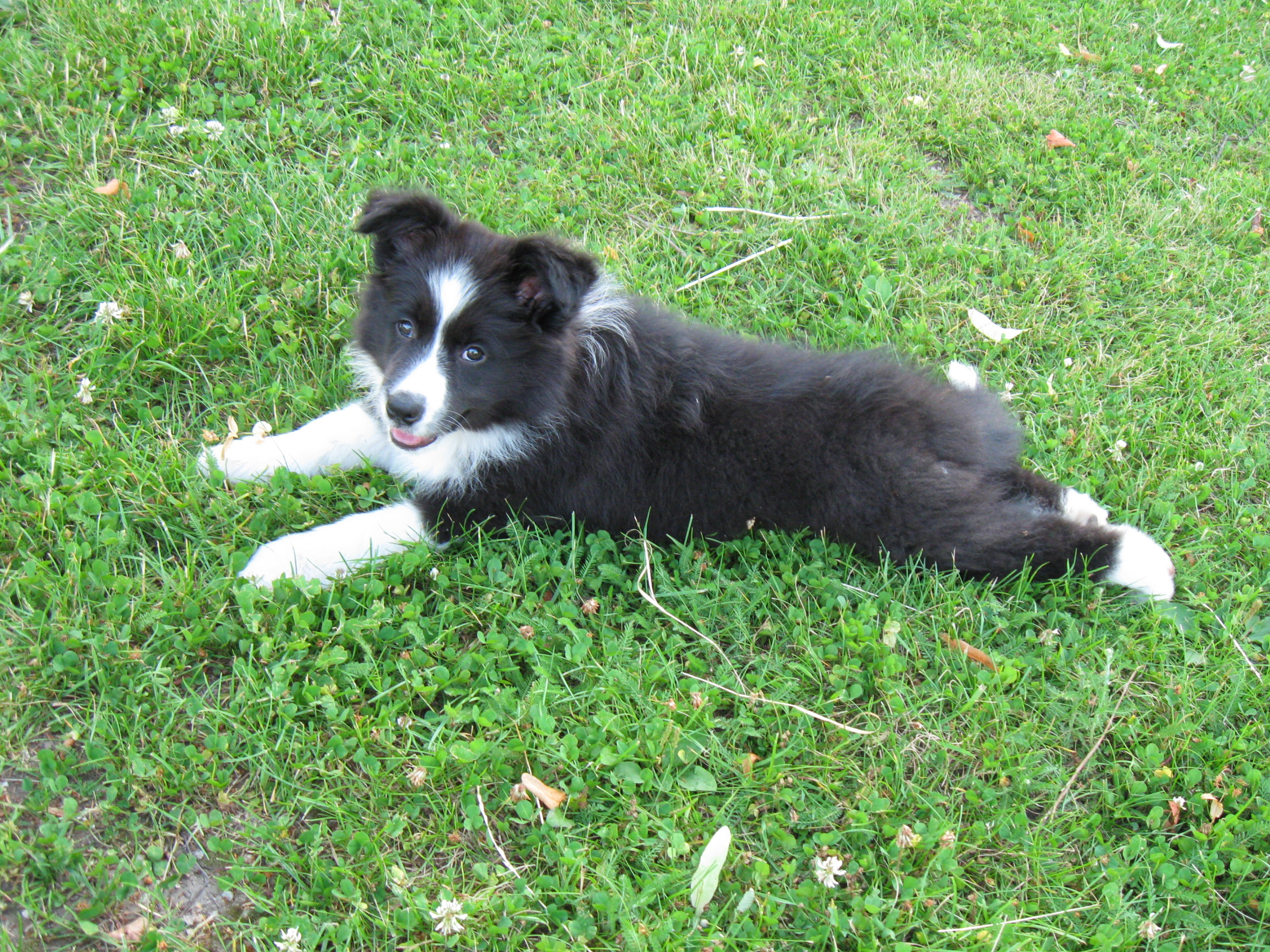Lucy 10 weeks tired from the walk