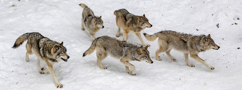 Empowered Pack of Wolves