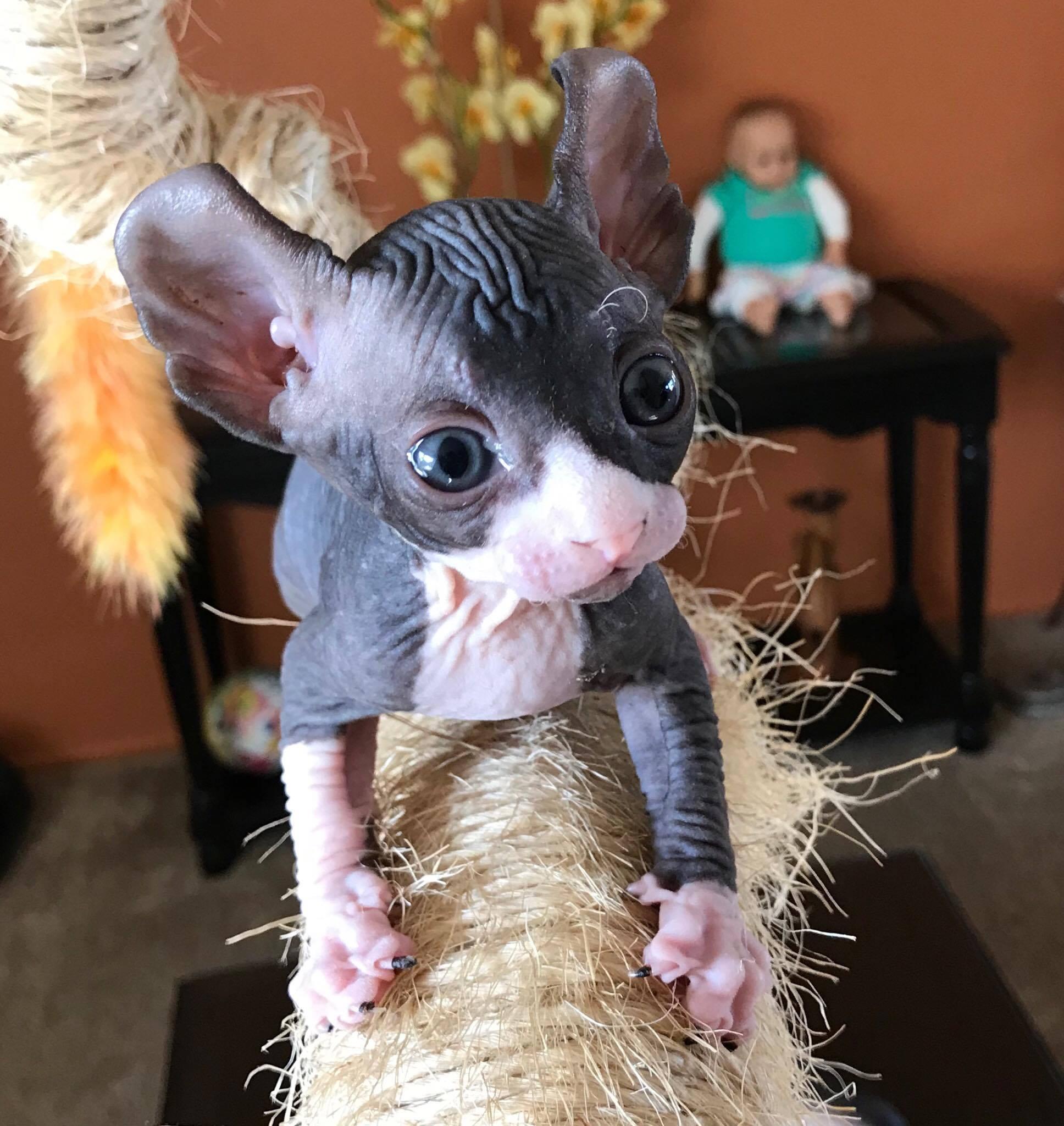 Sphynx Kittens For Sale   SphyxCrew   San Diego