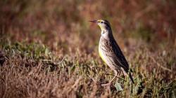 Bosque Meadowlark