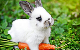 rabbit, carrot, bunnies