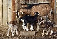 goat barn, baby goats