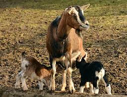 goats, family of goats