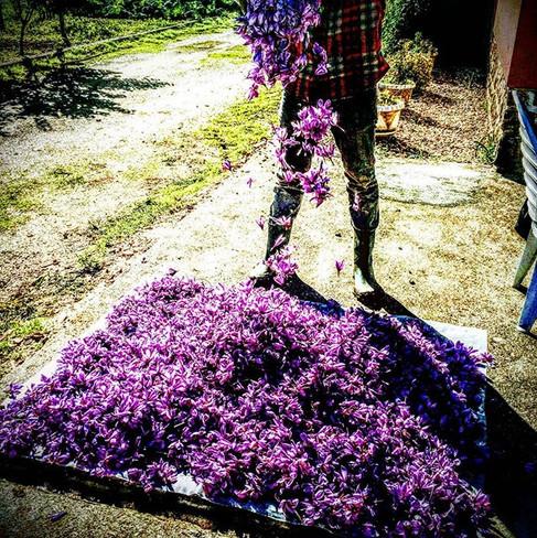Saffron flowers....jpg