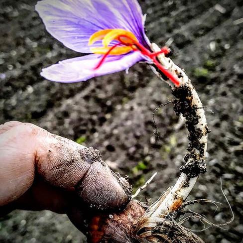 Saffron Flowers #donavioletasaffron #saf