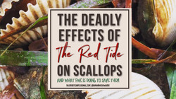 Red Tides Deadly Effect on Scallops