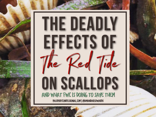 Deadly Effects Of Red Tide on Scallops through the Gulf Coast