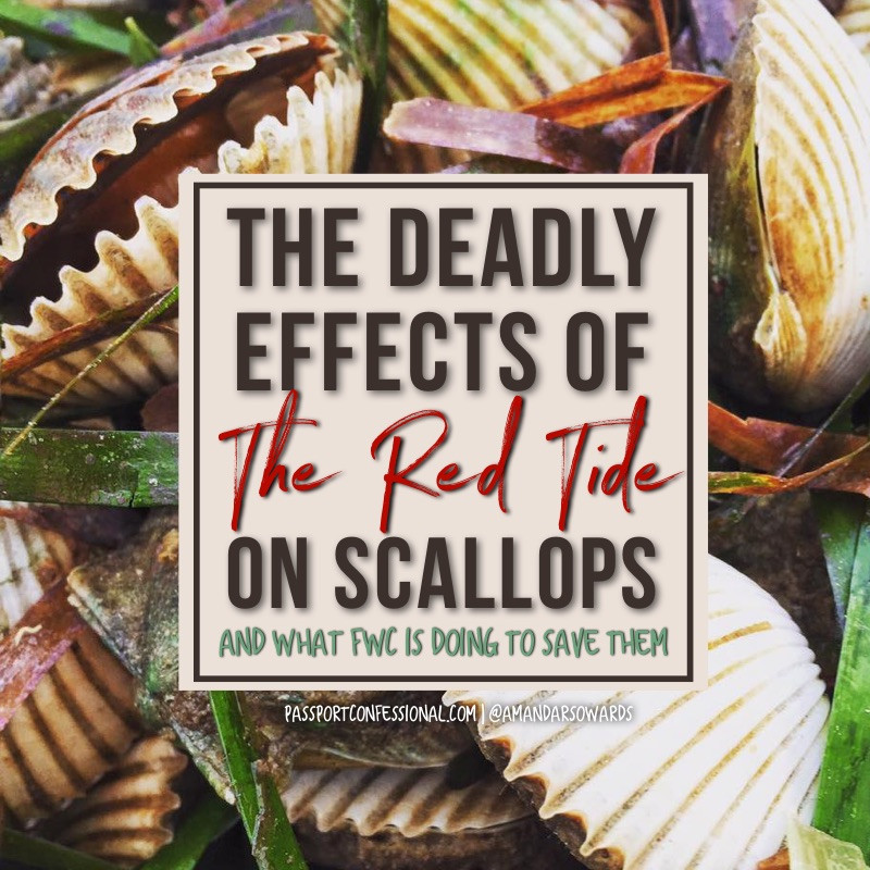 Ride Tide Effects on Scallops