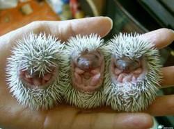 hedgehog_babies