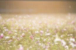 cosmos-flowers-1138041_640.jpg