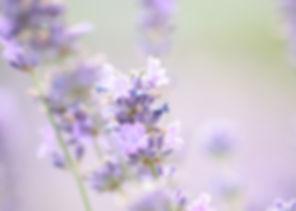 lavender-1889141_640.jpg