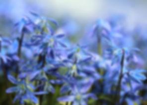 bluebell-697755_640.jpg