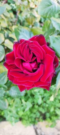Una rosa del giardino