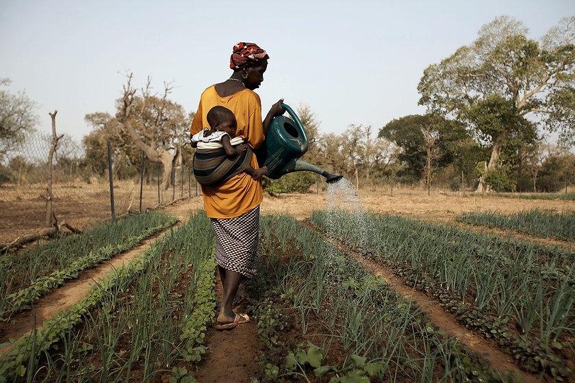 burkina faso, woman in a garden using a wateringcan, climate change