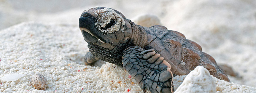 XpBonaire, Bonaire, News, Information, STCB, Te Amo Beach, Sea Turtles, Nesting