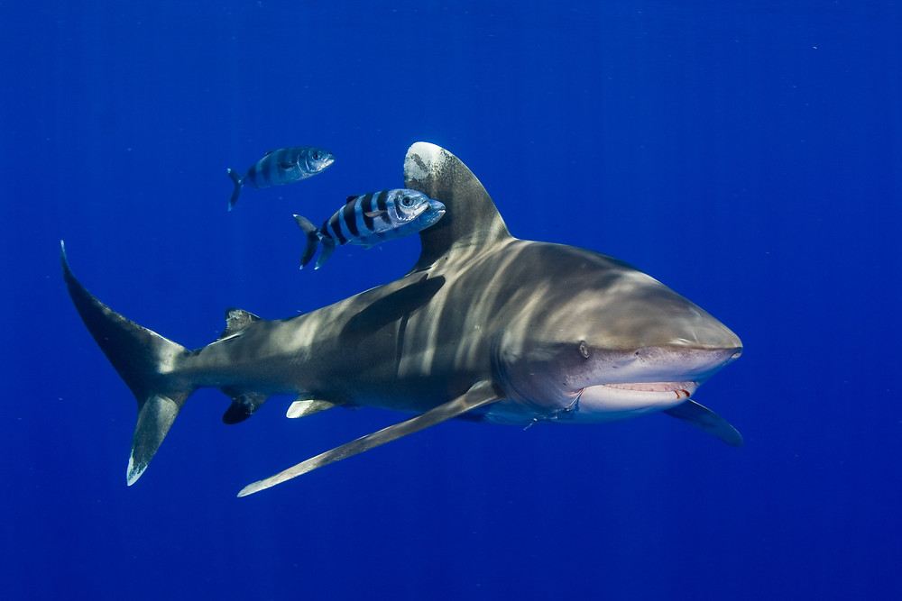 XpBonaire, IslandLife, Bonaire, News, Information, RCN, Caribbean Shark, Protection