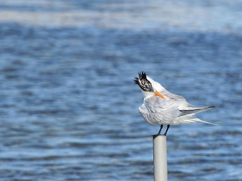 XpBonaire, IslandLife, Bonare, News, Information, STINAPA, international Bird Count
