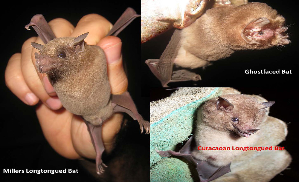 XpBonaire, IslandLife, Bonaire, Information, Events, Entertainment, STINAPA, Bats