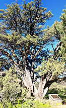 This is a photograph of Grandfather Juniper tree in Prescott Arizona.