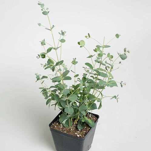 """Eucalyptus- 4.5"""" Pot"""