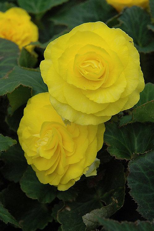 "Begonia Nonstop 4.5"" Pot"