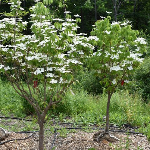 Galilean Dogwood Tree
