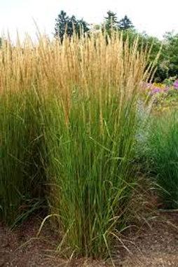 Calamagrostis Karl Forest