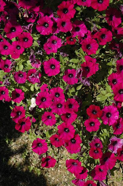 """Petunia Littletunia 12"""" Container"""