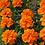 Thumbnail: Marigold- 4 Pack