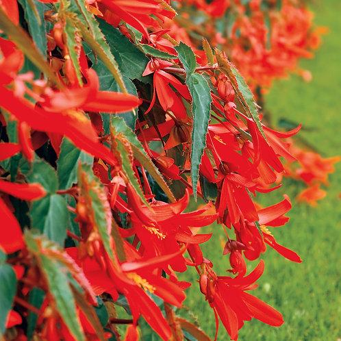 """Begonia Santa Cruz 4.5"""" Pots"""