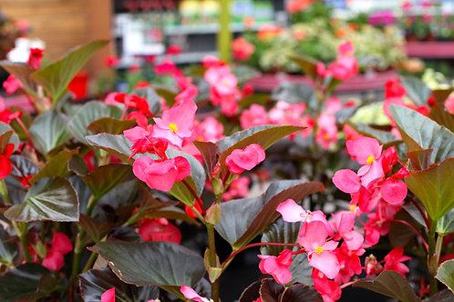 """Begonia Whopper 4.5"""" Pots"""