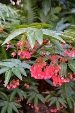 """Begonia 4.5"""" Pot"""