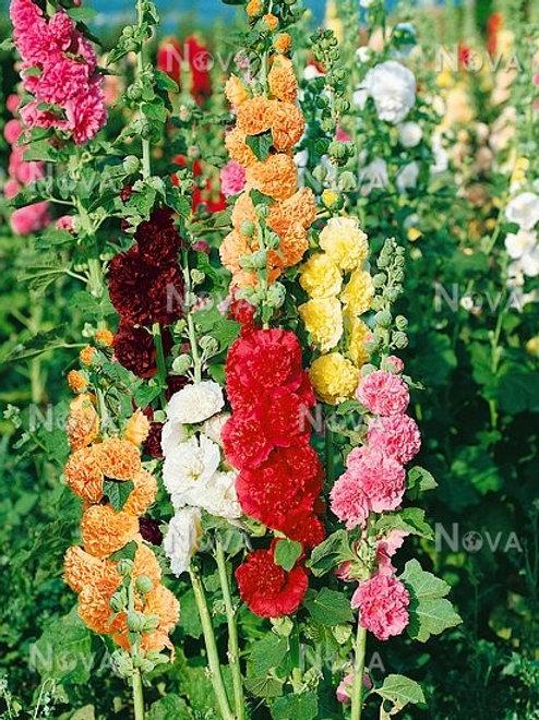 Alcea Rosea Simplex Hybrids