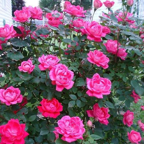 Rose Shrub