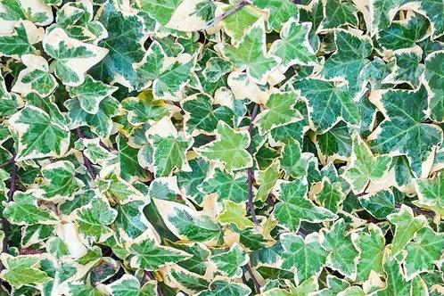"Hedera Helix Ivy 4.5"" Post"