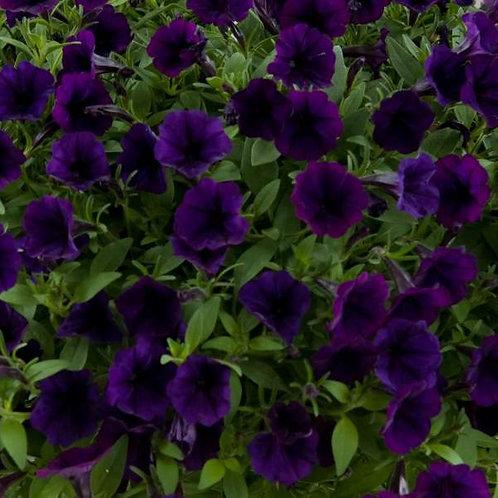"""Petunia Littletunia 14"""" Container"""