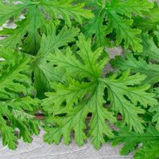 Herb Geranium